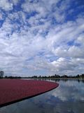 Fields of Cranberries. Lake full of cranberries ready to be harvested - under a cloudy, yet dramatic blue sky stock images