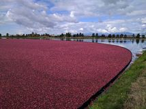 Fields of Cranberries. Lake full of cranberries ready to be harvested - under a cloudy, yet dramatic blue sky royalty free stock image