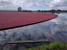 Fields of Cranberries. Lake full of cranberries ready to be harvested - under a cloudy, yet dramatic blue sky stock image