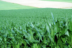Fields of Crops. This is an image of corn, hay, and wheat fields stock photo