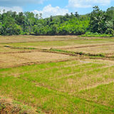 Fields with crops of rice Royalty Free Stock Images