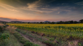 Fields Crotalaria evening.  Royalty Free Stock Images