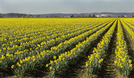 Fields of Daffodils Angled to the Right Stock Images