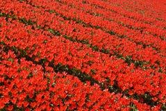 fields den röda tulpan Fotografering för Bildbyråer