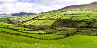 Fields in the Dingle Penisula, Ireland. Hedgerows outline farmers' green fields in Ireland Royalty Free Stock Images