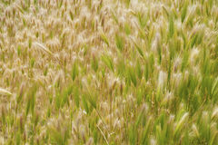 Fields of dreams. A field of green grasses Royalty Free Stock Image
