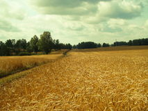 On fields of the farmer. The crop of zenrovy cultures in the fall ripens Stock Photos