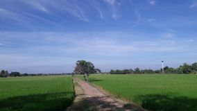 Rice fields in Thailand. The fields in the fertile countryside of Thailand Royalty Free Stock Photo