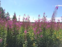 Fields with fireweed in Kizhi Russia royalty free stock photo