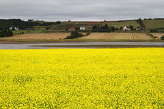 Fields of flowering mustard in PEI Royalty Free Stock Photography