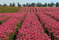Fields of flowers. Fields of collective farm Segula Royalty Free Stock Photography