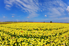 The fields flowers buttercups Royalty Free Stock Photos