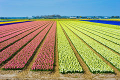 Fields of flowers Royalty Free Stock Photography