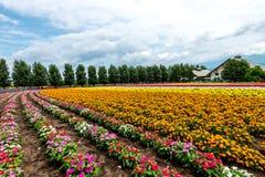 Fields of Flowers Hokkaido, Japan July 2015 Royalty Free Stock Images
