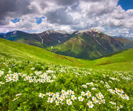 Fields of flowers in the mountains. Royalty Free Stock Photos
