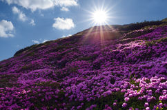 Fields of flowers in the mountains Stock Photo