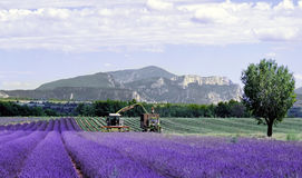 fields franclavendel provence Royaltyfria Foton
