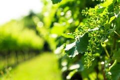 The fields of Friuli Venezia-Giulia cultivated with grapevines. The vineyards of Buttrio in a summer day. Collio Friulano, Udine Province, Friuli Venezia-Giulia stock image