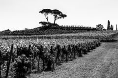 The fields of Friuli Venezia-Giulia cultivated with grapevines. The vineyards of Buttrio in a summer day. Collio Friulano, Udine Province, Friuli Venezia-Giulia royalty free stock photo
