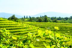 The fields of Friuli Venezia-Giulia cultivated with grapevines. The vineyards of Buttrio in a summer day. Collio Friulano, Udine Province, Friuli Venezia-Giulia stock photography