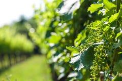 The fields of Friuli Venezia-Giulia cultivated with grapevines. The vineyards of Buttrio in a summer day. Collio Friulano, Udine Province, Friuli Venezia-Giulia royalty free stock image