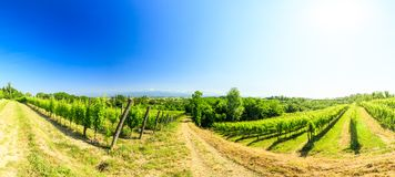 The fields of Friuli Venezia-Giulia cultivated with grapevines. The vineyards of Buttrio in a summer day. Collio Friulano, Udine Province, Friuli Venezia-Giulia royalty free stock photography