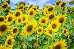 Fields full of sunflowers Stock Photo