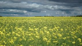Fields full of yellow rapeseed flowers for canola oil production stock footage