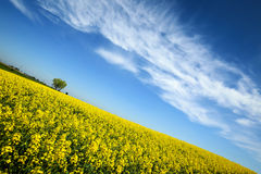 Fields in Germany. A view of yellow flowering rapeseed fields in spring in Bavaria, Germany. Rapeseed is grown for the production of animal feeds, vegetable oils Royalty Free Stock Photos
