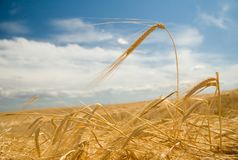 Fields of gold 1. Freshly swathed ripe golden barley Stock Photography