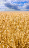 Fields of gold. Wheat field under the cloudy sky Royalty Free Stock Photography
