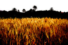 Fields of Gold. Countryside of morocco, wheat fields Royalty Free Stock Photography