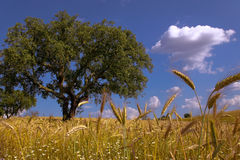 Fields of Gold. Wheat fields and large oak tree under blue sky Royalty Free Stock Photos