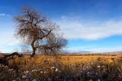 Fields of gold. A lone tree against a beautiful golden-blue background, snow-capped weeds stock image