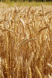 Fields of gold Royalty Free Stock Photo