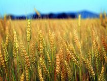 Fields of gold Royalty Free Stock Images