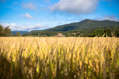 Fields of gold. Field of yellow grass,blue sky and sun Royalty Free Stock Images