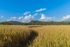 Fields of gold. Field of yellow grass,blue sky and sun Royalty Free Stock Photo