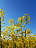 Fields of gold. Yellow flowers meets blue sky Royalty Free Stock Photos