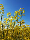 Fields of gold. Yellow flowers meets blue sky Stock Photos