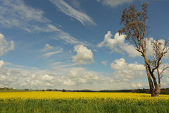 Fields of golden canola flowering in the springtime Stock Images