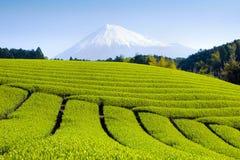 fields grön tea vi Royaltyfria Bilder