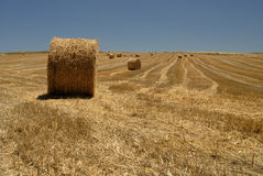 Fields of grain land and culture Stock Image