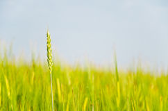 Fields of grains. Fields of growing summer harvest Royalty Free Stock Photography