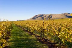 Fields of Grape Vines. Soon after the harvest of grapes and the season cools, the grape vines change to the yellows and golds of autumn Stock Image