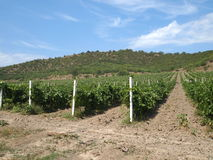 Fields of grape vines. Grape fields in the mountains, rows of vines in the Crimea, viticulture, the cultivation of land and the cultivation of grapes of Royalty Free Stock Photography