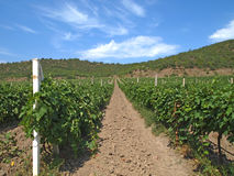 Fields of grape vines. Grape fields in the mountains, rows of vines in the Crimea, viticulture, the cultivation of land and the cultivation of grapes of Royalty Free Stock Photo