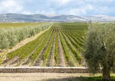 Fields of grape vines separated from the road by olive trees at Tomaresca Tenuta Bocca di Lupo. Pictured are fields of grape vines separated from the road by a Stock Photography