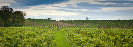 Fields of Grapes royalty free stock photography