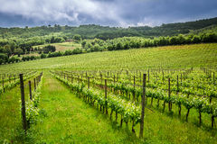 Fields of grapes in the summer Royalty Free Stock Photos